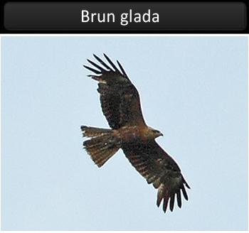 Brun glada vid Stora Amundö
