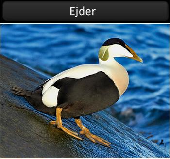 Ejder vid Stora Amundö