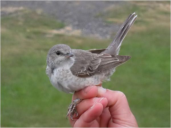 Höksångare (Barred Warbler), Ölands södra udde