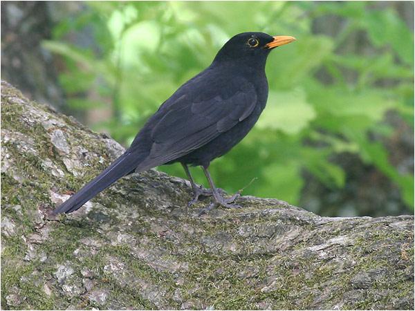 Koltrast (Blackbird), Stora Amundö, söder om Göteborg