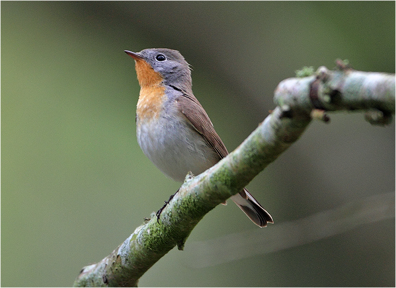 Mindre flugsnappare (Red-breasted Flycatcher), Norra Lunden, Ottenby