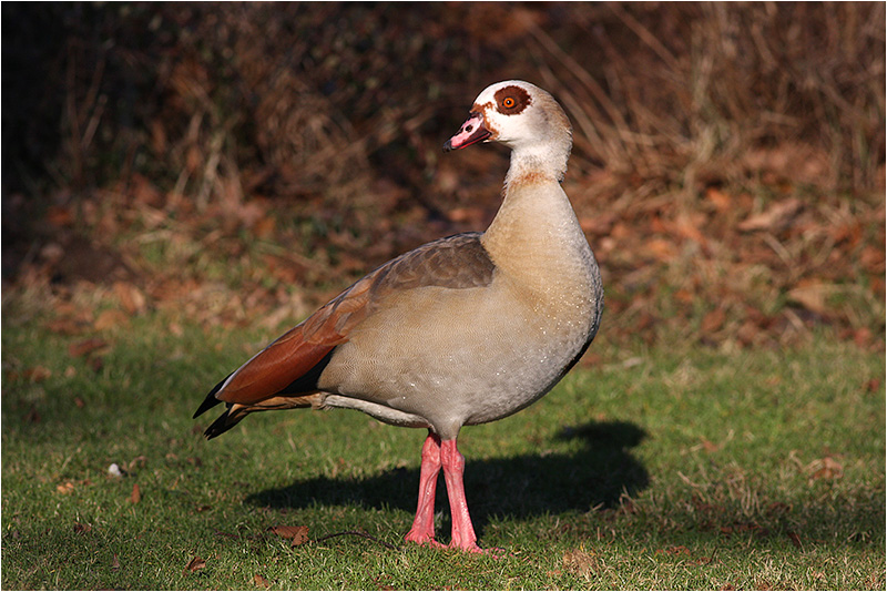Nilgås (Egyptian Goose), Hörby, Skåne