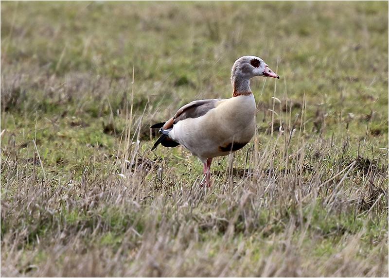 Nilgås (Egyptian Goose), Välen, Göteborg