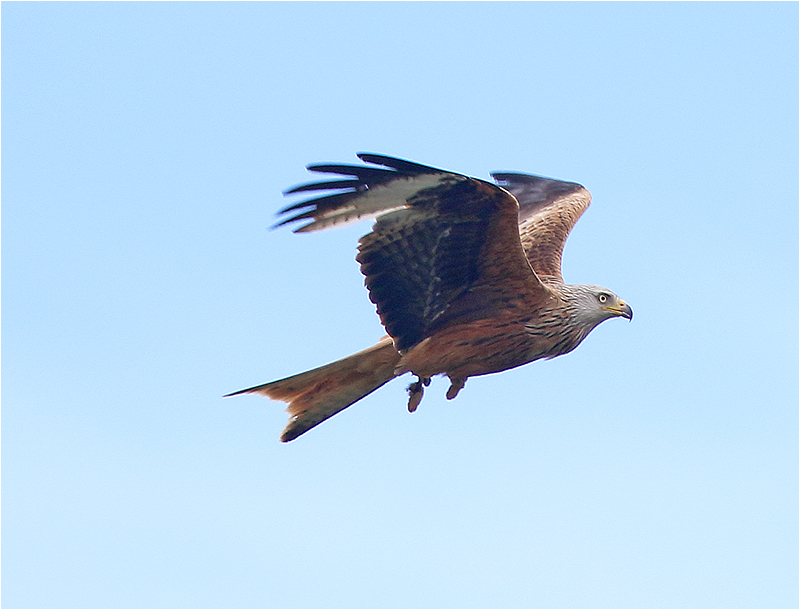 Röd glada (Red Kite), Triberga, Öland