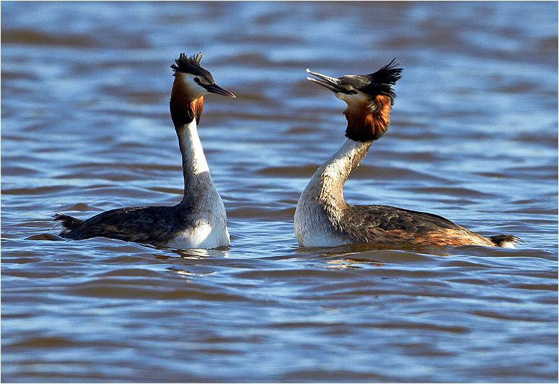 Skäggdopping (Great Crested Grebe), Hornborgasjön