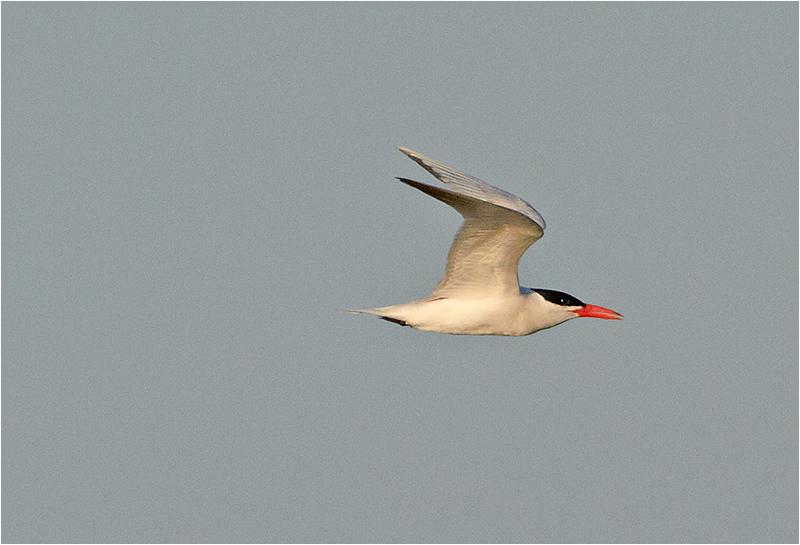 Skräntärna (Caspian Tern), Södra Udden, Öland