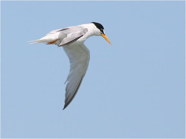 Småtärna (Little Tern), Cavallino, Italien