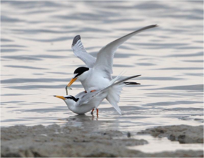 Småtärna (Little Tern), Stenåsabadet, Öland