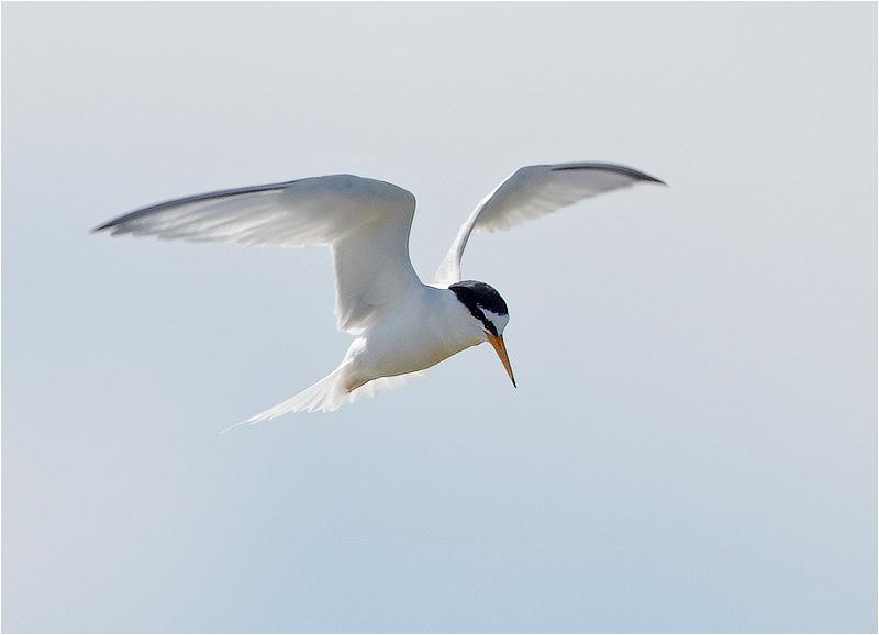 Småtärna (Little Tern), Västerstadsviken, Öland