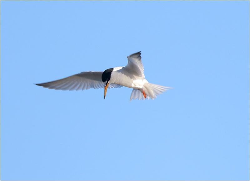 Småtärna (Little Tern), Ölands Södra Udde, Öland