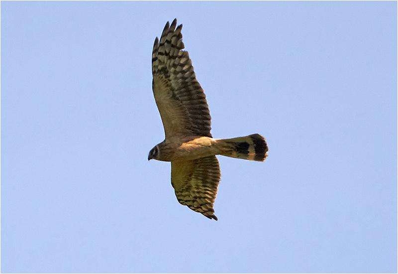 Stäpphök (Pallid Harrier), Eketorp, södra Öland