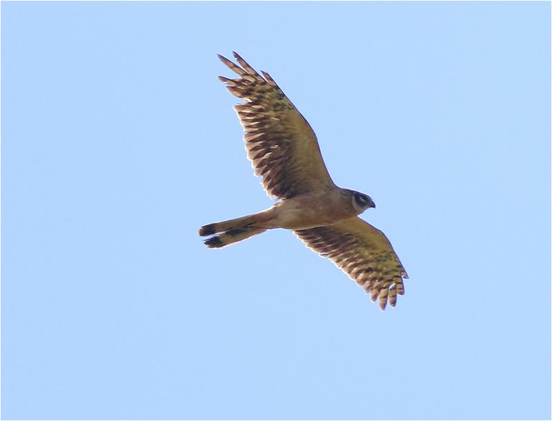 Stäpphök (Pallid Harrier), Enetri, Öland