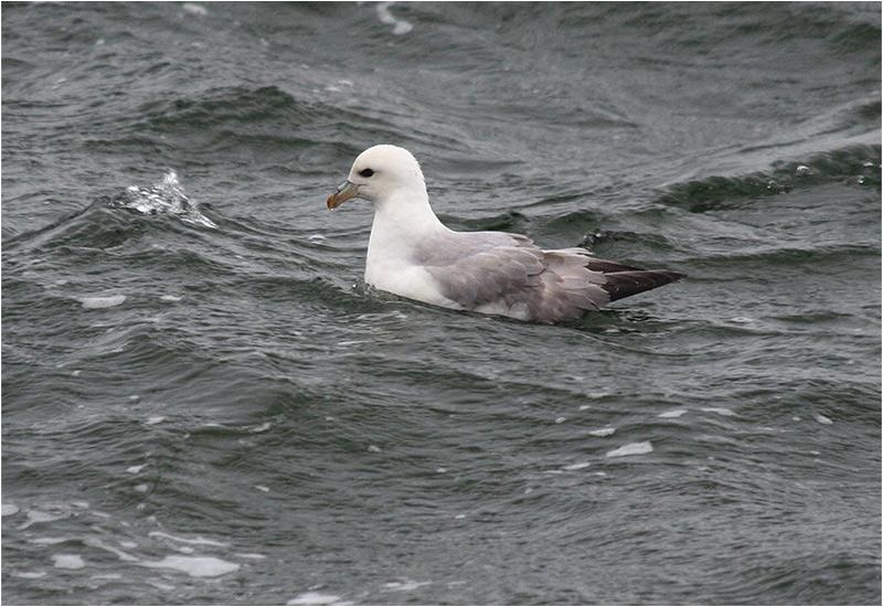 Stormfågel (Northern Fulmar), Stora Amundön, Göteborg
