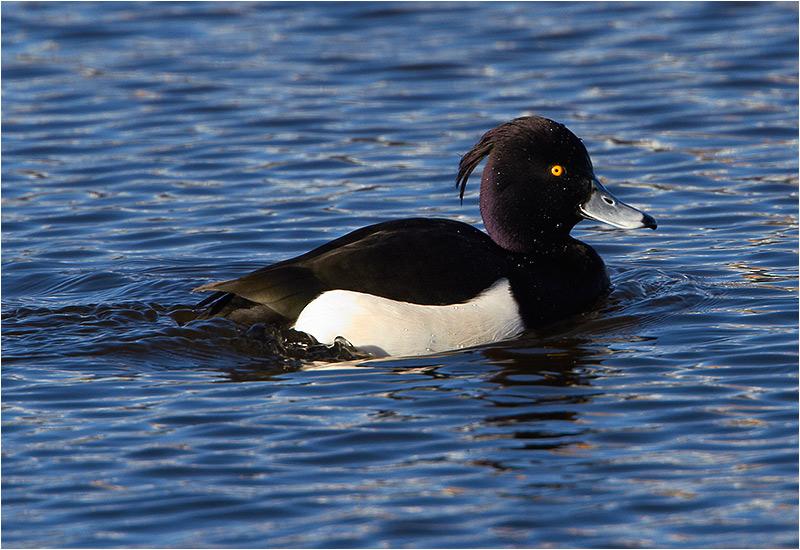 Vigg (Tufted Duck), Säveåns mynning, Göteborg
