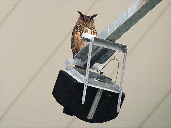 Berguv (Eagle Owl), Nya Ullevi, Göteborg