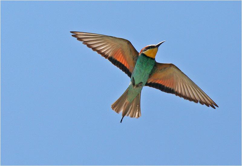 Biätare (Bee-Eater), Cavallino, Italien