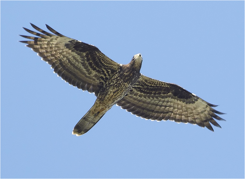 Bivråk (Honey Buzzard), Kolabacken, Falsterbo