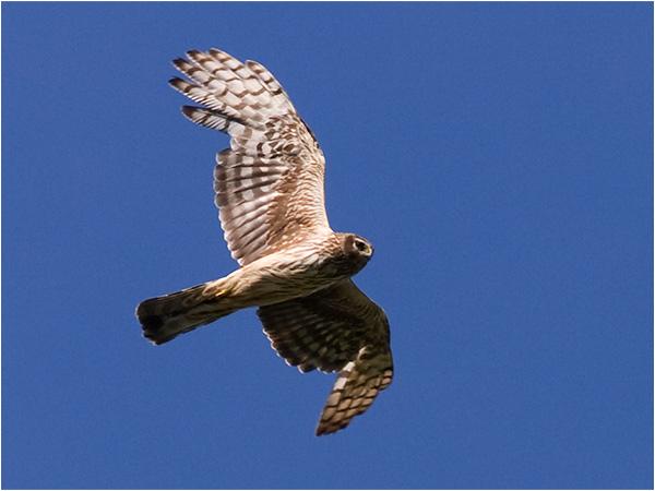 Blå kärrhök (Hen Harrier), Stranninge, norr Glommen