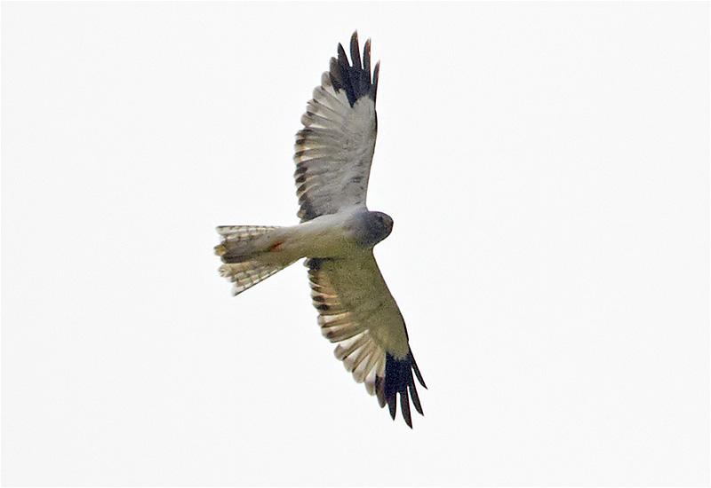 Blå kärrhök (Hen Harrier), Stafsinge, Halland