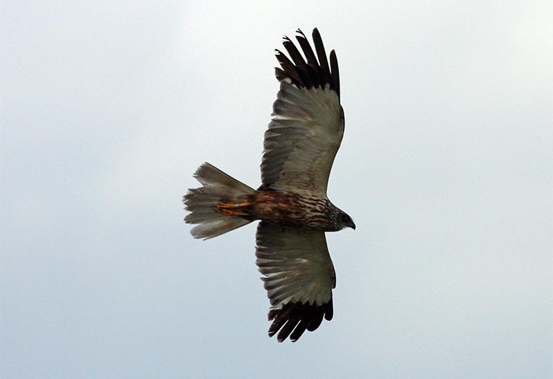 Brun kärrhök (Marsh Harrier), Haga Kile, söder om Göteborg
