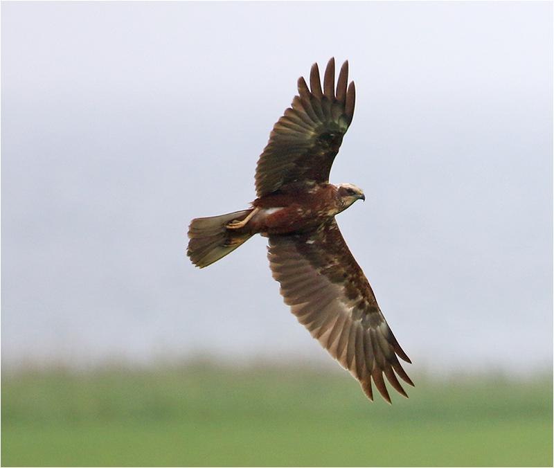 Brun kärrhök (Marsh Harrier), Össby, Öland