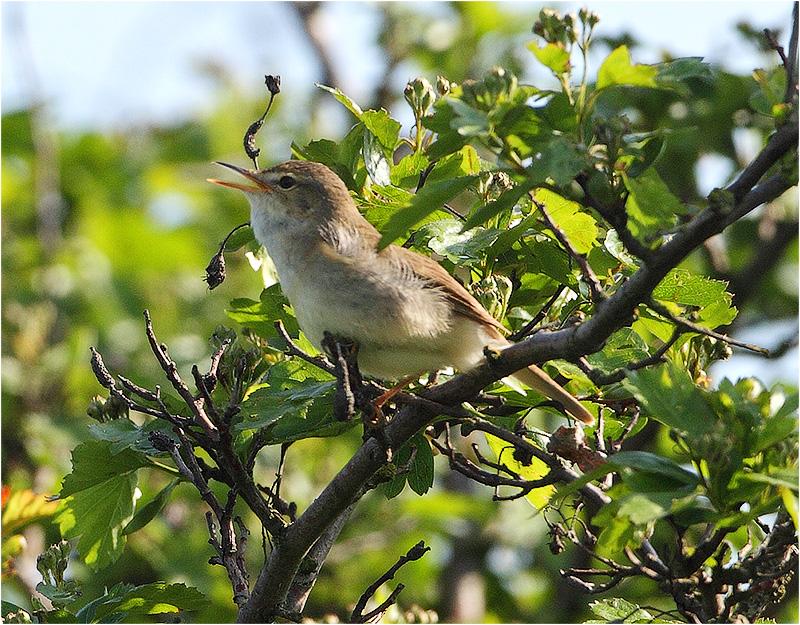 Busksångare (Blyth´s Reed Warbler), Ottenby Gravfält, Ottenby