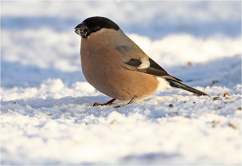 Domherre (Bullfinch), Eklanda, Mölndal