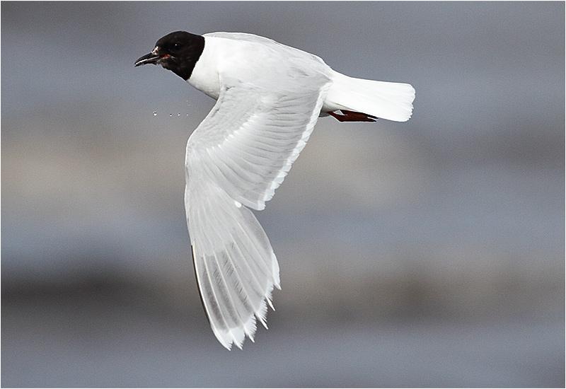 Dvärgmås (Little Gull), Västerstadsviken, Öland