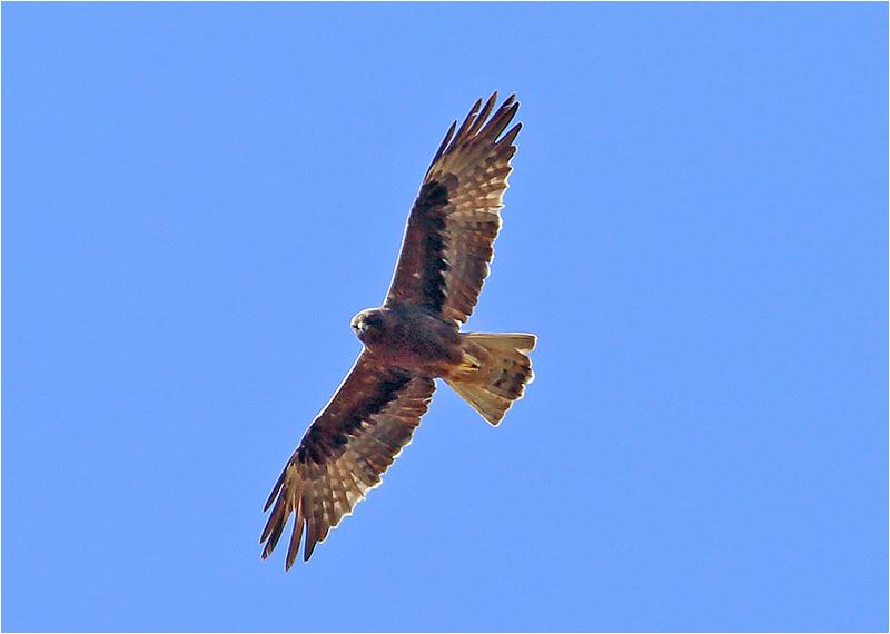 Dvärgörn (Booted Eagle), väster om Pollenca, Mallorca, Spanien