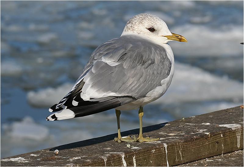 Fiskmås (Common Gull), Klippan, Göteborg