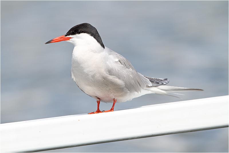 Fisktärna (Common Tern), Bibybron, Hedfjärden, Eskilstuna