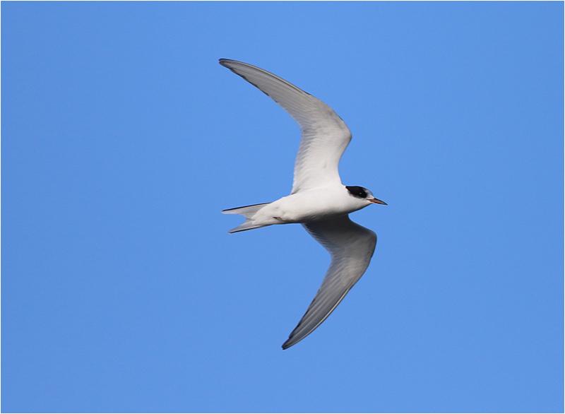 Fisktärna (Common Tern), Sebybadet, Öland