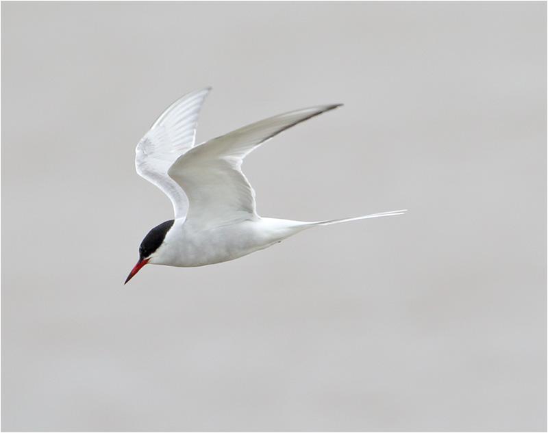 Fisktärna (Common Tern), Båtafjorden, Halland