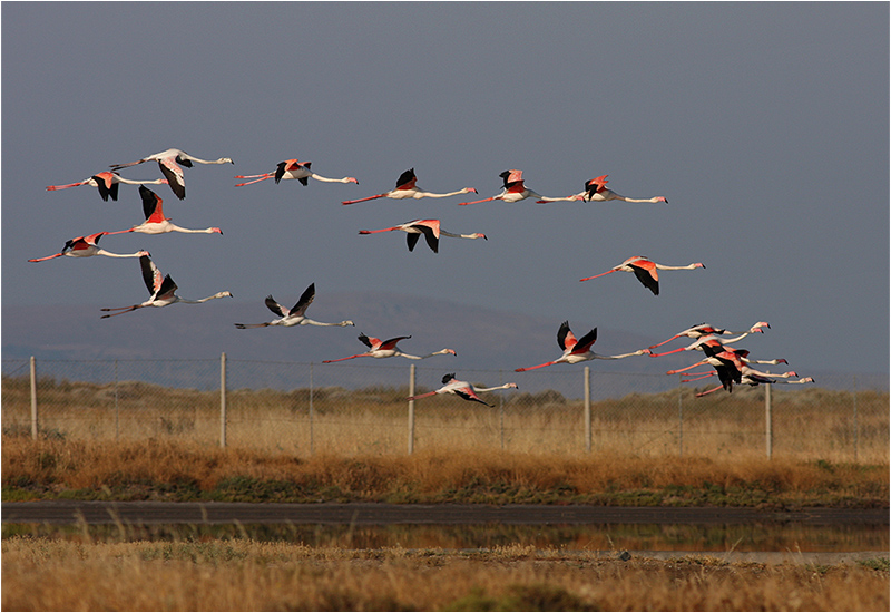 Flamingo, Kalloni Saltpan, Lesbos, Grekland