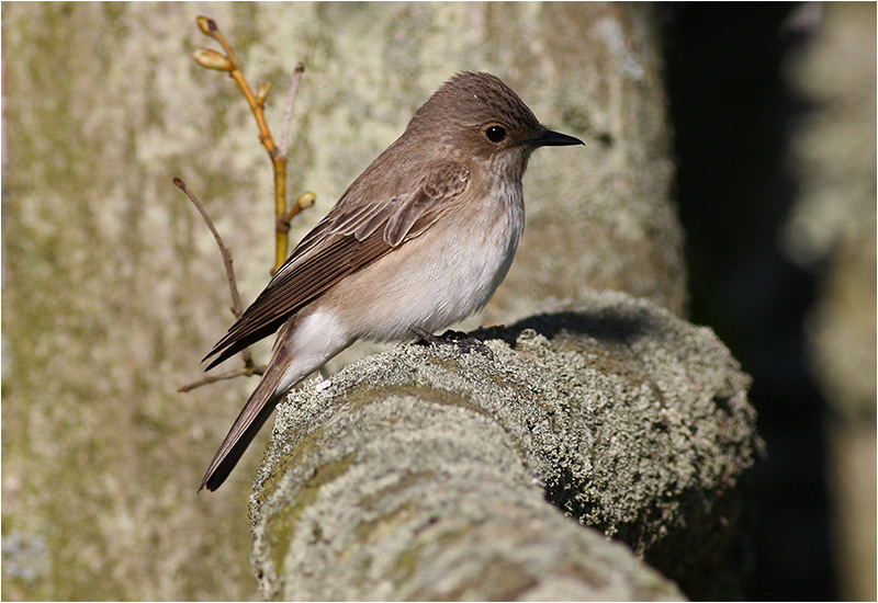 Grå flugsnappare (Spotted Flycatcher), Ölands Södra Udde, Ottenby