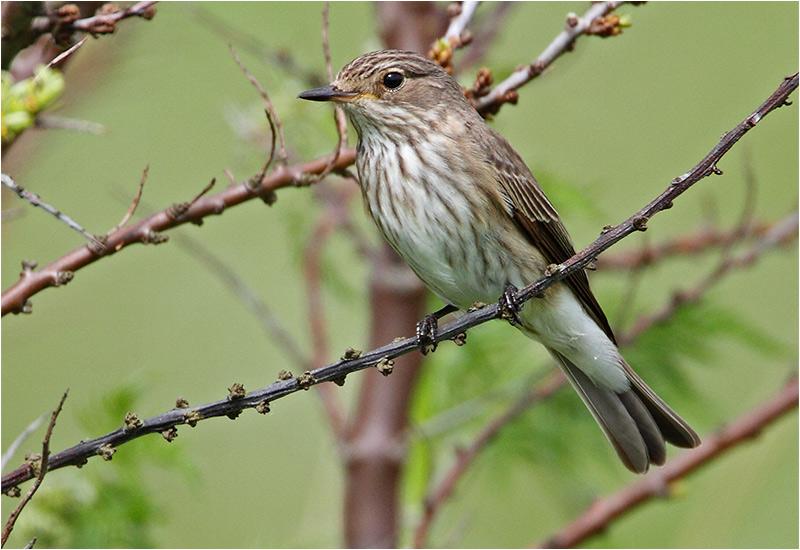 Grå flugsnappare (Spotted Flycatcher), Sebybadet, Öland