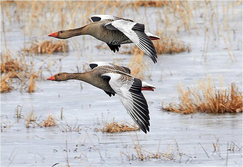 Grågås (Greylag Goose), Hornborgasjön, Västergöland