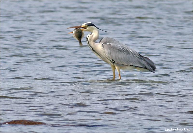 Gråhäger (Grey Heron), Stora Amundö