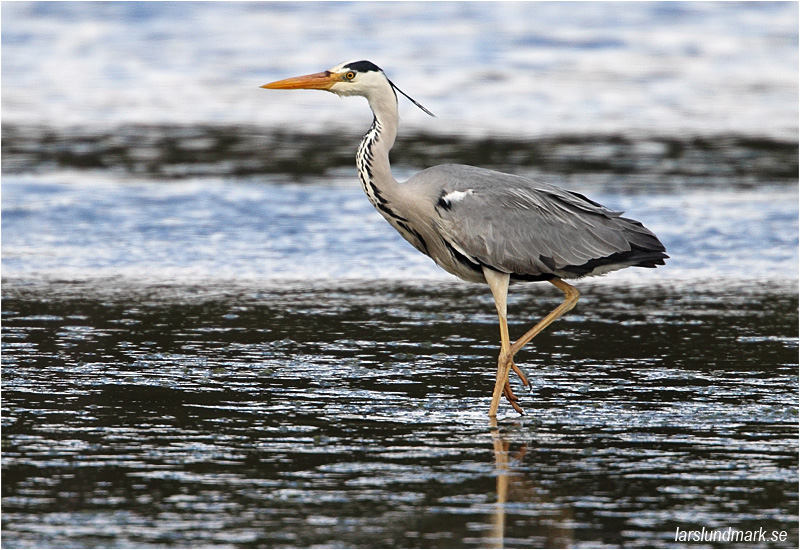 Gråhäger (Grey Heron), Beijershamn, Öland