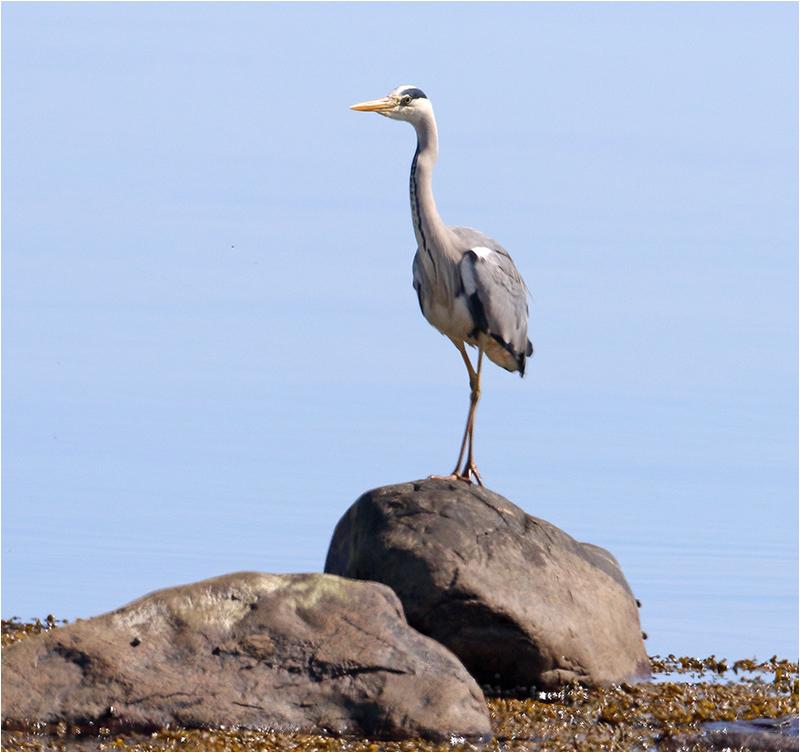 Gråhäger (Grey Heron), Glommens Sten, Halland