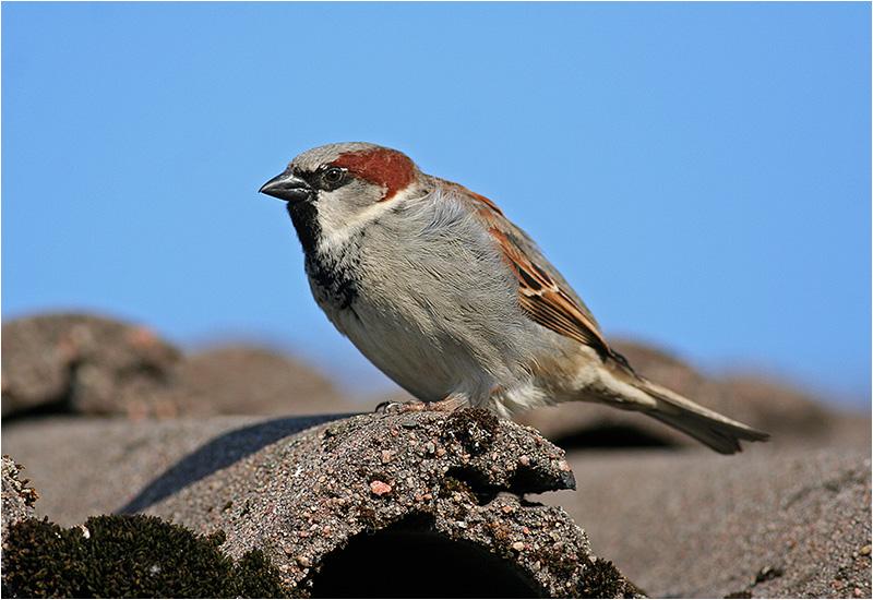 Gråsparv (House Sparrow), Stora Amundö, söder om Göteborg