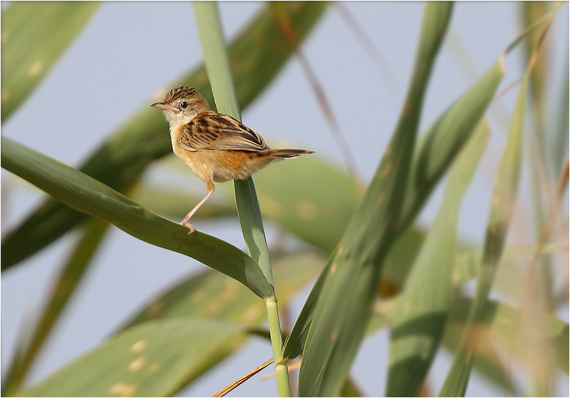Grässångare (Fan-tailed Warbler), S'Albuferia, Mallorca, Spanien