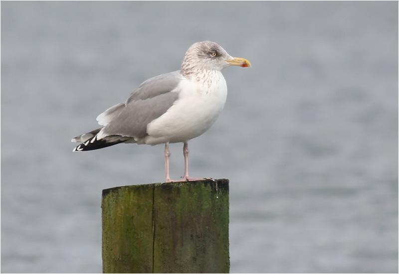 Gråtrut (Herring Gull), Klippan, Göteborg