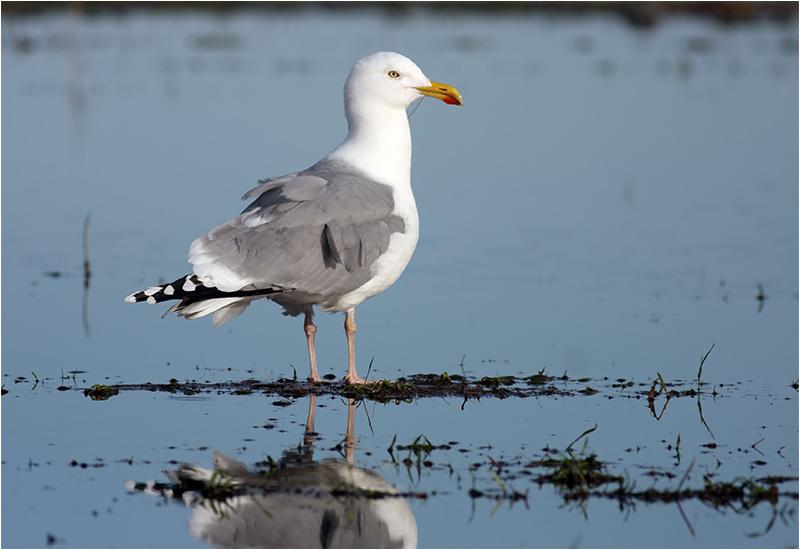 Gråtrut (Herring Gull), Morups Tånge, Halland