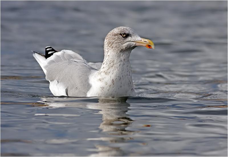 Gråtrut (Herring Gull), Stora Amundö, söder om Göteborg