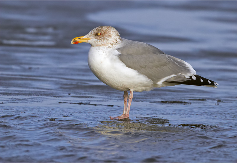 Gråtrut (Herring Gull), Bua Hamn, Halland