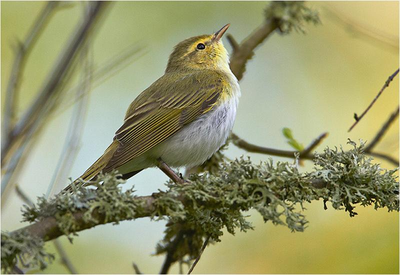 Grönsångare (Wood Warbler), Södra Lunden, Ottenby, Öland