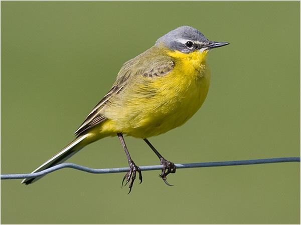 Gulärla (Yellow Wagtail), Fågeludden, Hornborgsjön, Västergötland