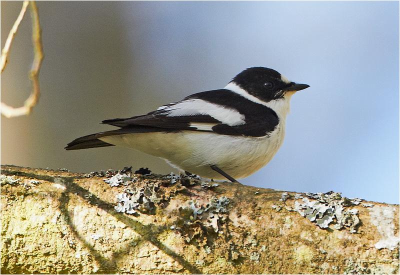 Halsbandsflugsnappare (Collared Flycatcher), Norra Lunden, Ottenby, Öland