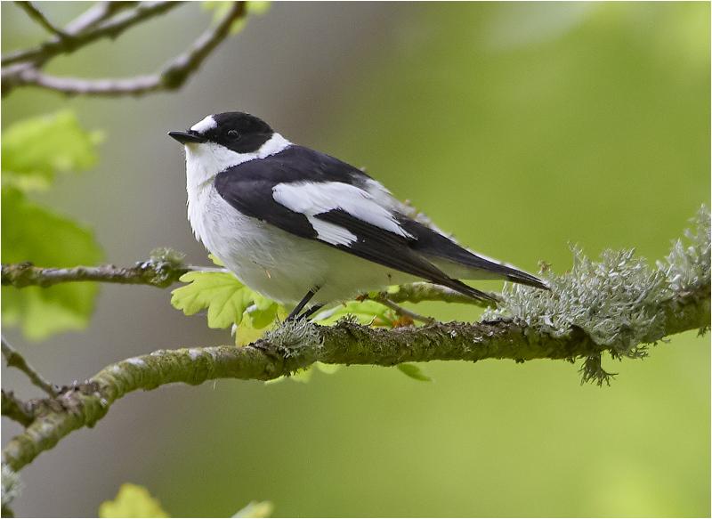 Halsbandsflugsnappare (Collared Flycatcher), Mellersta Lunden, Ottenby, Öland